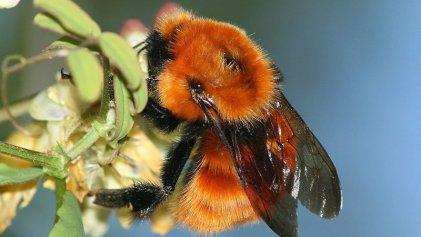 Las abejas no pueden esperar: alertan sobre la notable caída de estos insectos esenciales
