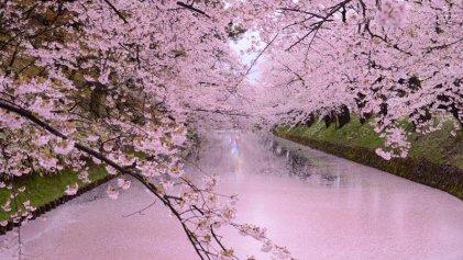 Alarma por la floración prematura de cerezos en Japón: marcó un récord en 1200 años